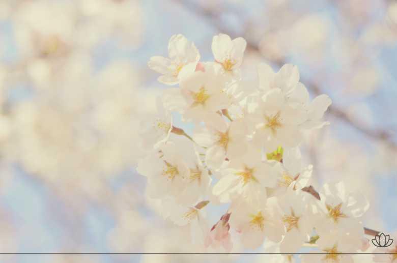 桜・凛としたイメージ画像